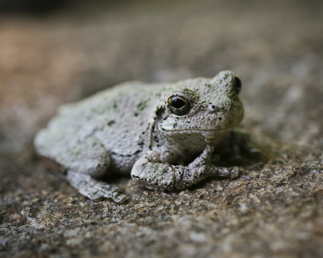 Gray tree frog - photo#6
