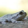 20120721-gray-tree-frog-1