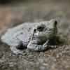 20120721-gray-tree-frog-2