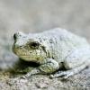 20120721-gray-tree-frog-3