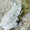 20120721-gray-tree-frog-4