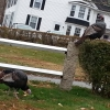 20150116_main_st_wild_turkeys_nancy_1-800x600