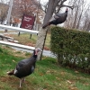20150116_main_st_wild_turkeys_nancy_2-800x600