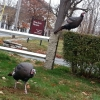 20150116_main_st_wild_turkeys_nancy_3-800x600