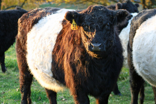 Post image for Wanna buy a beltie?