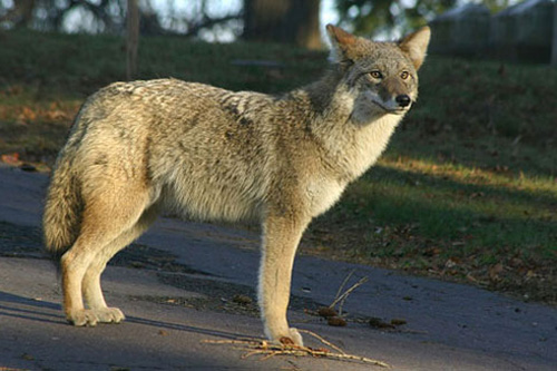 Post image for SOLF to learn about coexisting with coyotes at annual meeting – Tuesday, May 7