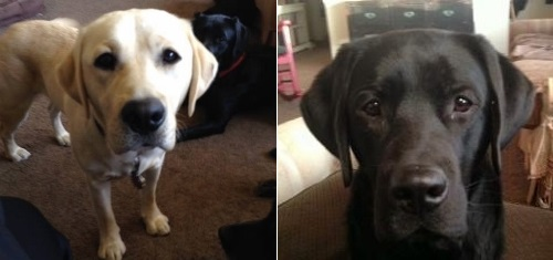 Post image for Did you rescue two labs from Rte 85?