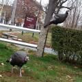 Wild Turkeys of Main Street captured readers imagination and frustration (Photo by Nancy V)