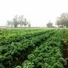 Chestnut Hill Farm kale crop (from CHF blog)