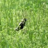 another bobolink at BHCL by Dawn Vesey Puliafico