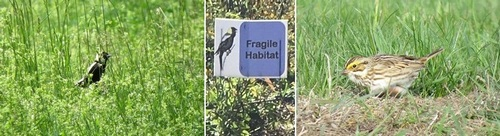 Post image for Walk this way at Breakneck Hill <em>(getting ready for grassland nesting)</em>
