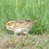 savannah sparrow at BHCL by Dawn Vesey Puliafico