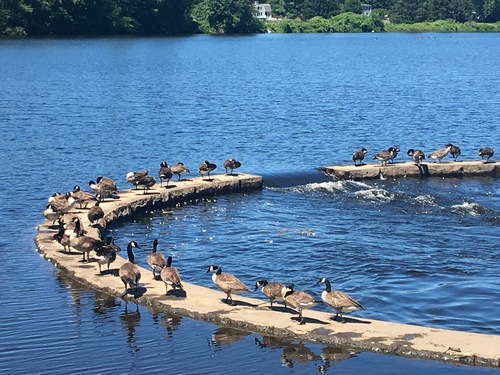 Post image for Enjoying the view: Geese on Middle Road