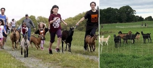 Post image for Running with the Goats – Saturday