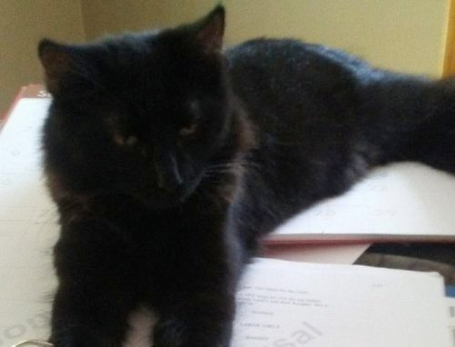 """Post image for """"Here, Deon"""": Owner seeking lost cat"""