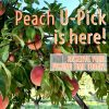 Yellow peaches at Belkin Lookout Farm