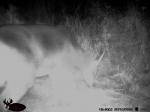 Deer snacking at night