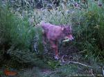 coyote with corncob