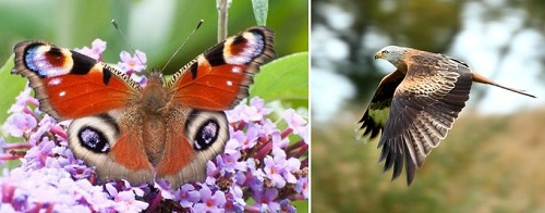 Post image for Seniors invited to learn about Wales' butterflies and other Joys of Nature over zoom